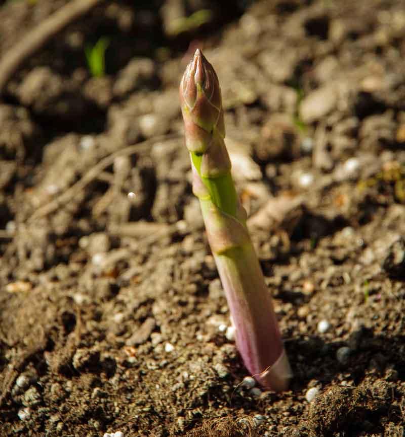 Et aspargesskudd  som kan høstes om et par dager.