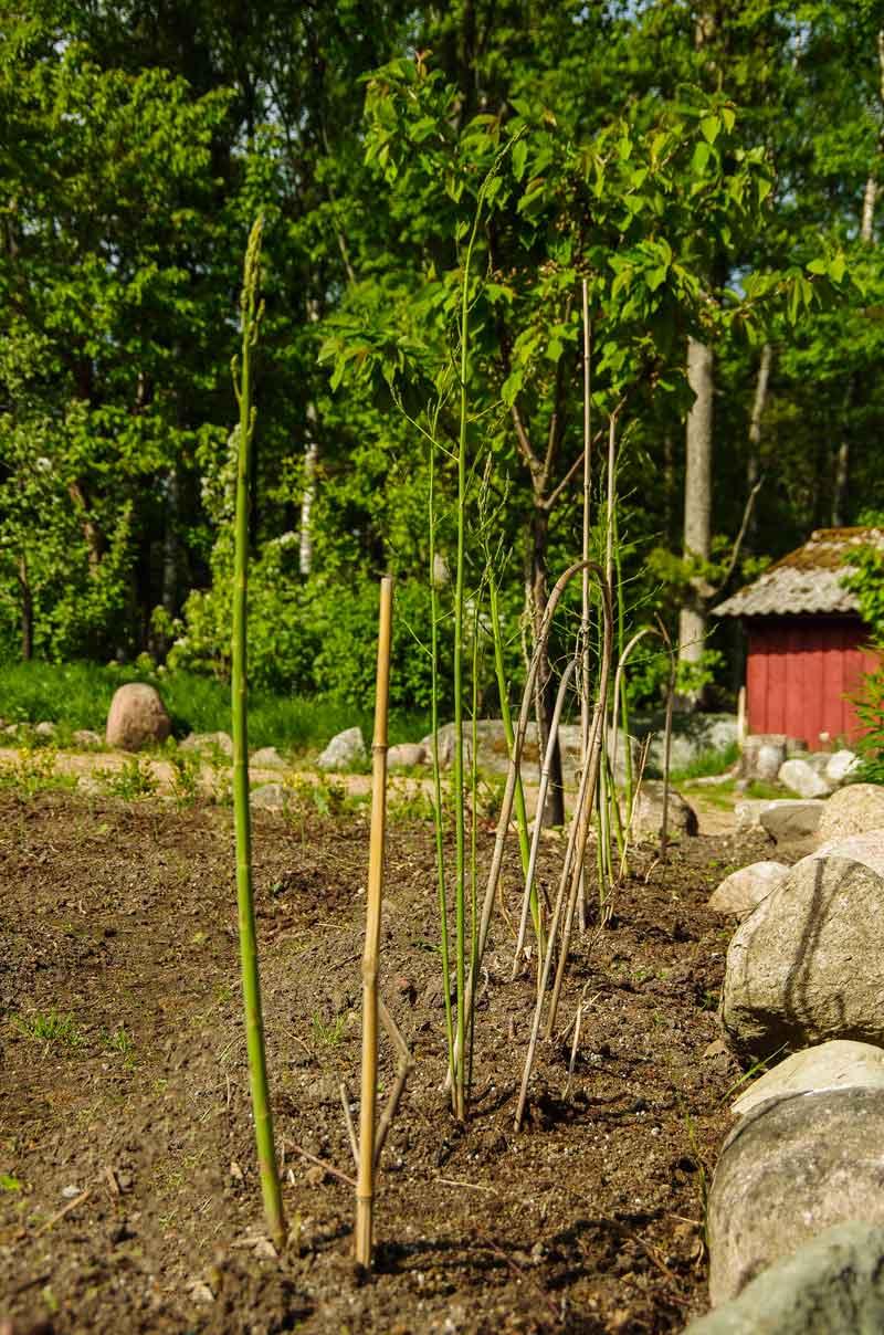 Her er aspargeskronene mine første året etter planting.