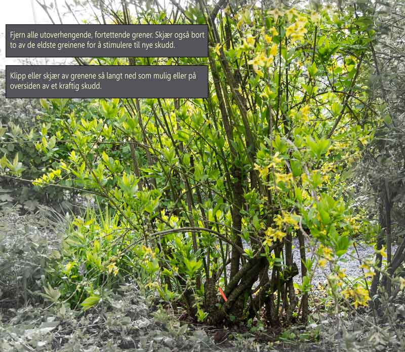 Forsythia_pruning_1