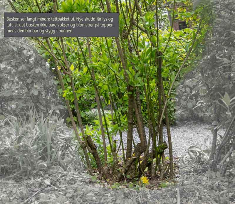 Forsythia_pruning_2