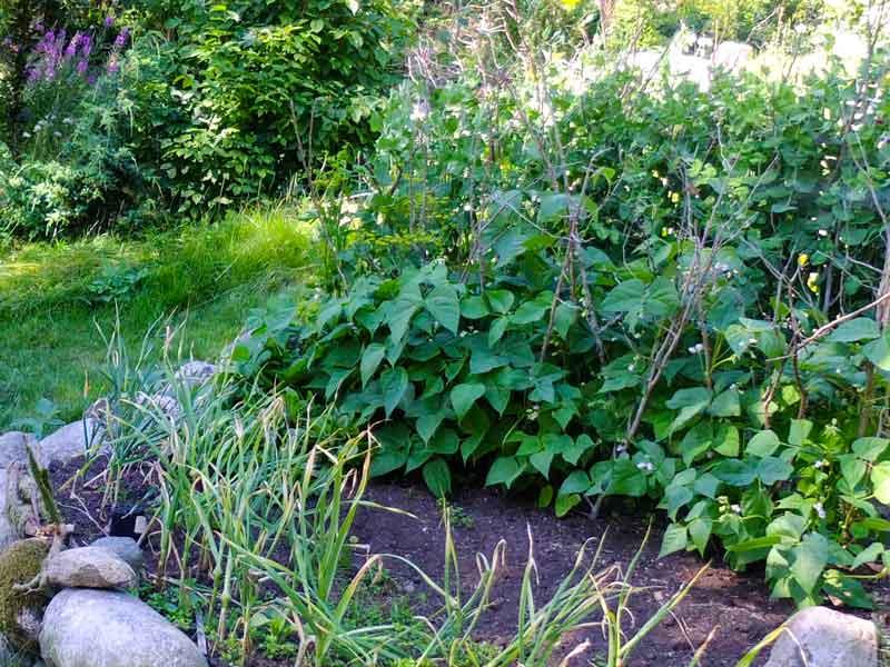 Her er lave aspargesbønner. Der har jeg satt noen tørre eienergreiner ned i midten for å støtte plantene litt opp for å unngå snegler og råte på bønnene.