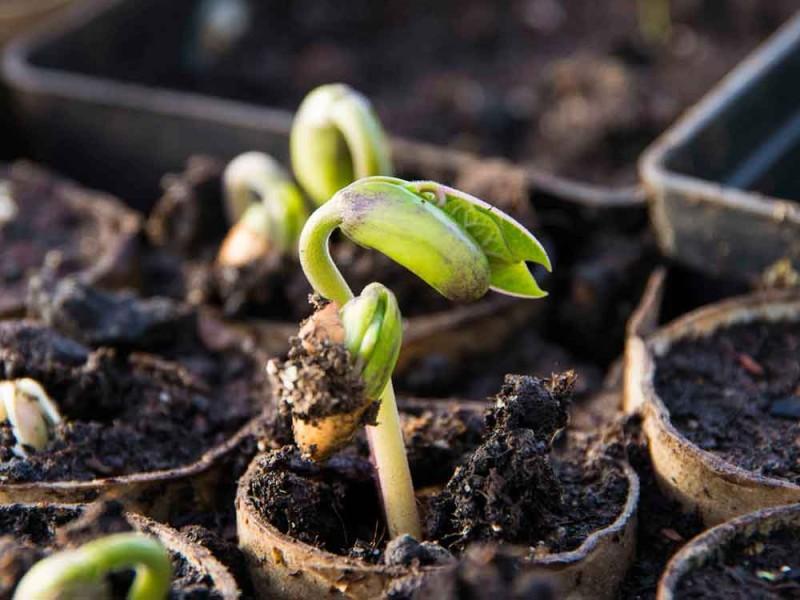 Disse bønneplantene er plantet i hver sin dorull satt tett sammen og fylt opp med jord. På denne måten slipper jeg  på en enkel måte å forstyrre røttene. Rotforstyrrelser liker bønneplantene dårlig.