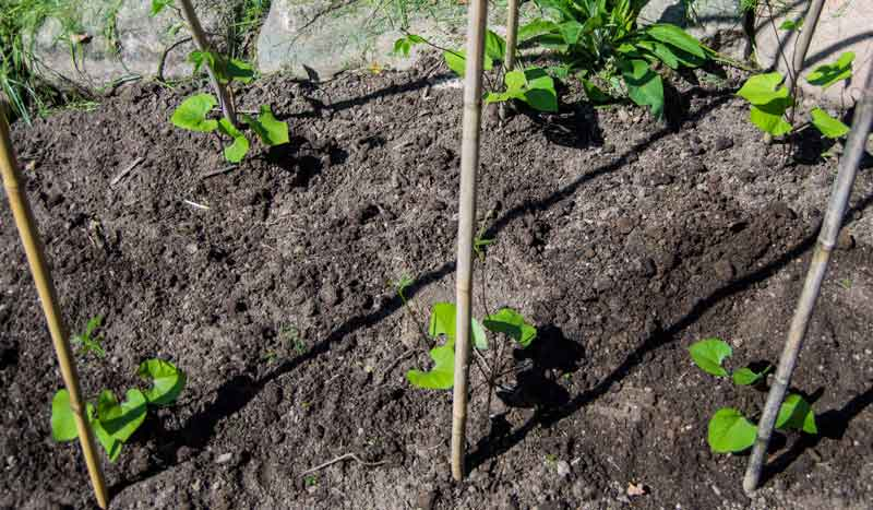 Når de har begynt å vokse trekker jeg noen snører mellom bambuspinnene for å gi plantene mere å klatre på.