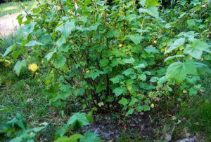 Det samme gjelder rundt bærbusker. Her er det luket litt, og deretter også tilfrt litt Potassium som styrker celleveggene som igjen hjelper mot sykdommer og bedrer fruktkvailtet. Enkelt sagt.l.