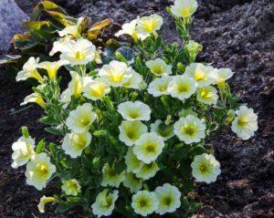 Utplanting mai5_