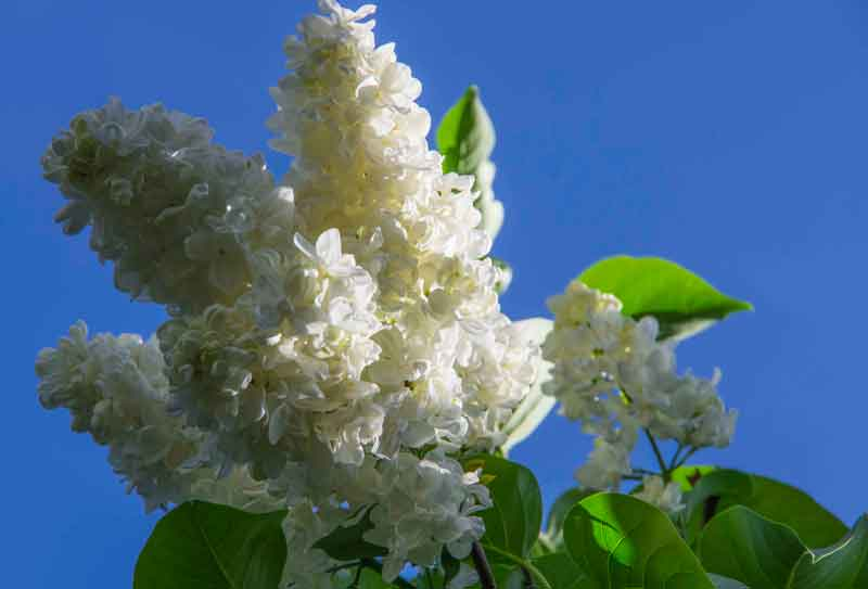 Syringa_grafted_white