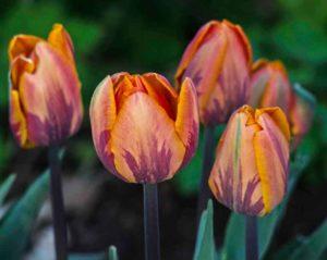 Tulip_princess_Irene_2_