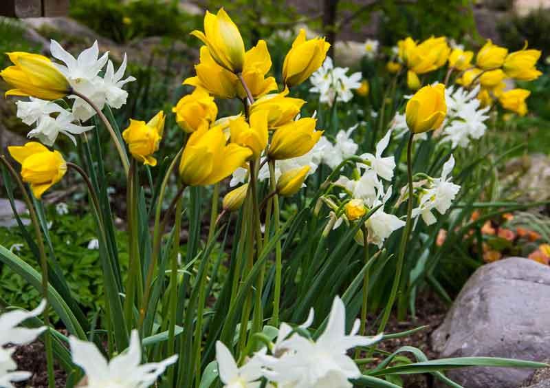 Tulipa_sylvestris_thalia_05