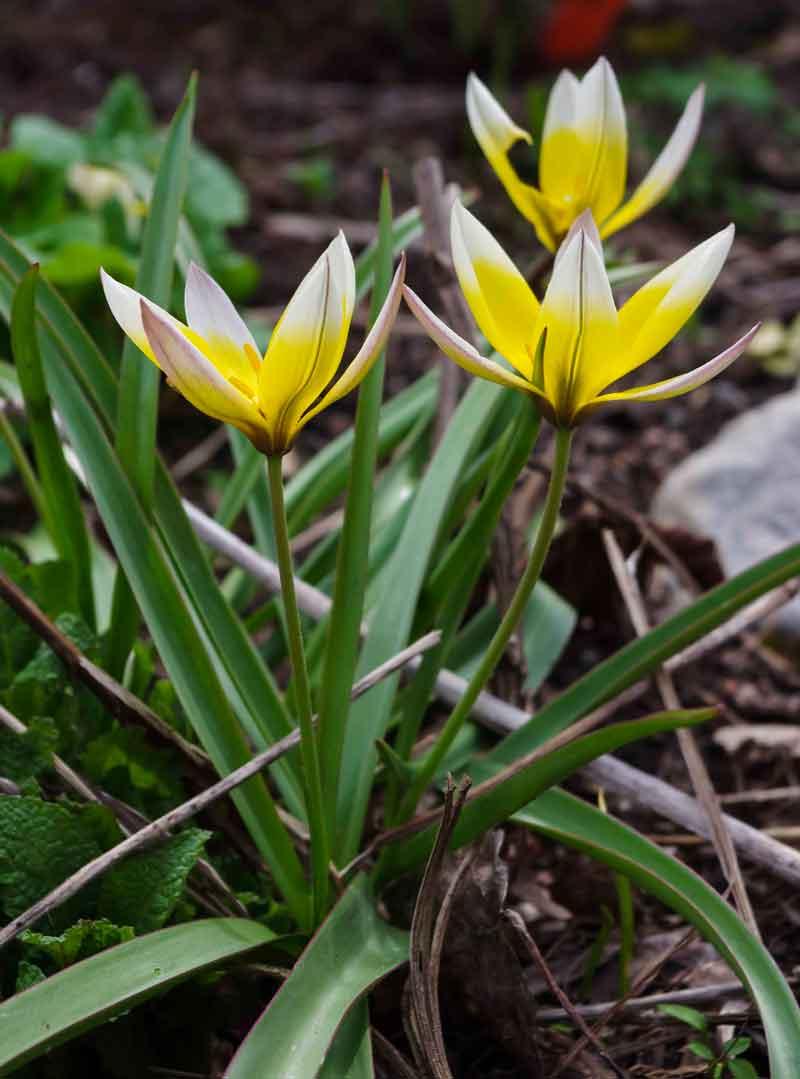 Tulipa_tarda_05_
