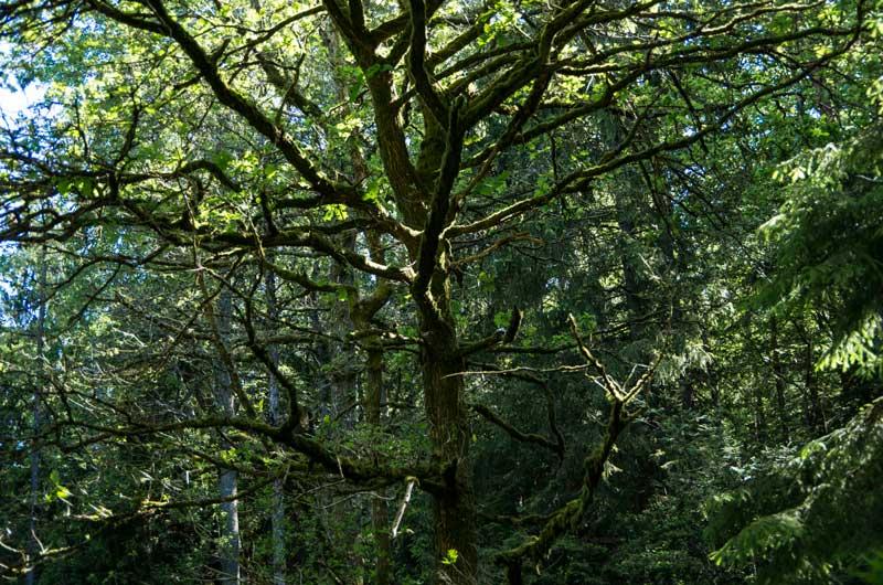 Yndlingseieken min oppe i skogen. Har nok ikke den beste plasseringen..