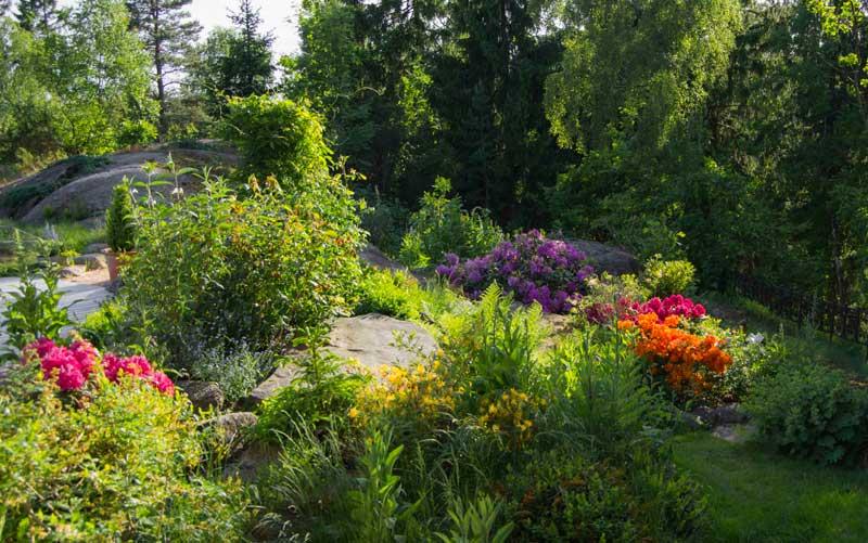 Tilbake i hagen hvor rododendron-blomstringen er på hell.