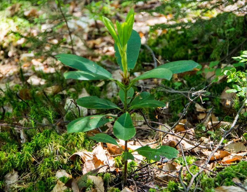 Ute i skogen stod denne stiklingen. Noen som ser hva det er? Det er nokså langt til nærmeste hage..