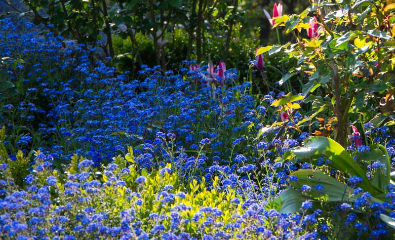Forglemmegei i rosebedet i vår. For en drøy uke siden rev jeg vekk alle plantene for å gi lys og luft til rosene. Forglemmegei har en tendens til å få meldugg ut på sommeren.
