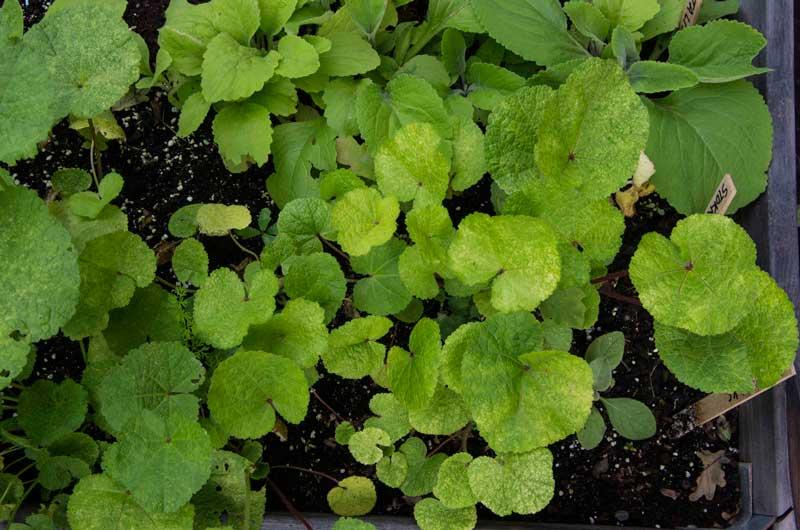 Her har jeg sått toårige som nå er blitt til småplanter som kan stå der til jeg planter de ut i hagen på de endelige plassene sine i løpet av høsten.