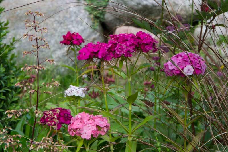 Busknellik er en utrolig holdbar, duftende stilkblomst. Den er også lett å få til og selvsår seg villig.