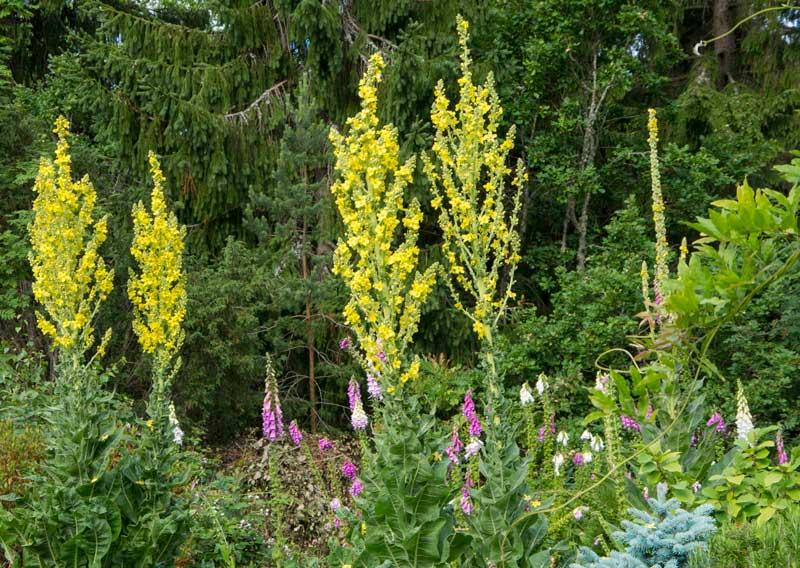 Filtkongslys. Blomstret også i fjor, slik at dette er nok tredje og siste år. Håper de legger igjen frø.