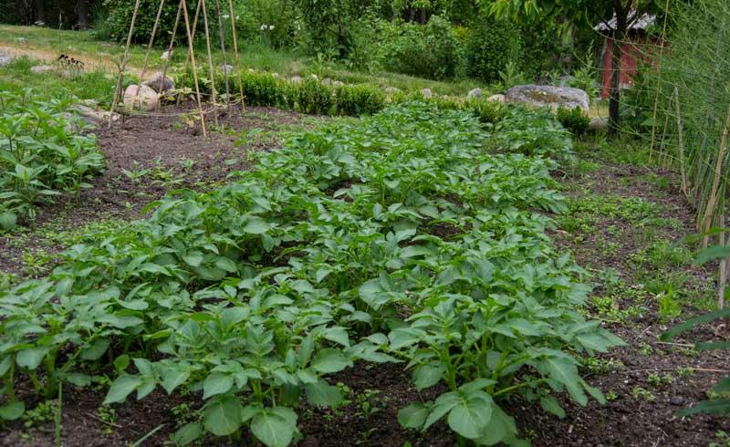 Slik så potetåkeren ut i slutten av mai. Aspargesbønner i tipi til venstre bak.