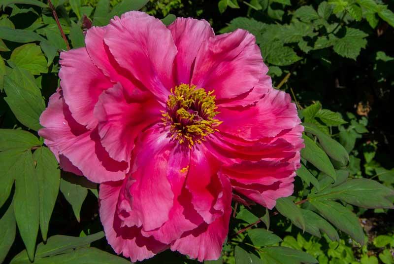 Trepion, funnet på et plantesalg senhøstes hos Skajems for mange år siden. Kjøpt fordi den var billig, I dag er det en flott liten busk som kommer med masse blomster. Men trepionen har ikke veldig lang blomstringssesong..l