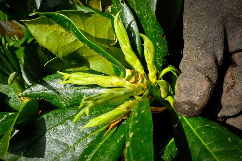 Rhododendron beskjaering5_