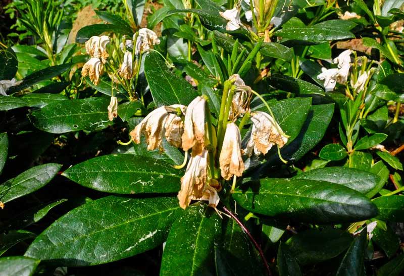 Visne blomster kan du med fordel fjerne fra mindre busker. Det gir mere næring til busken, og den ser langt penere ut.