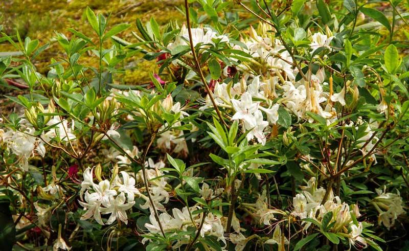 Her kan du se at azaleaen vokser rotete! men de har vakre blomster og flotte høstfarger.