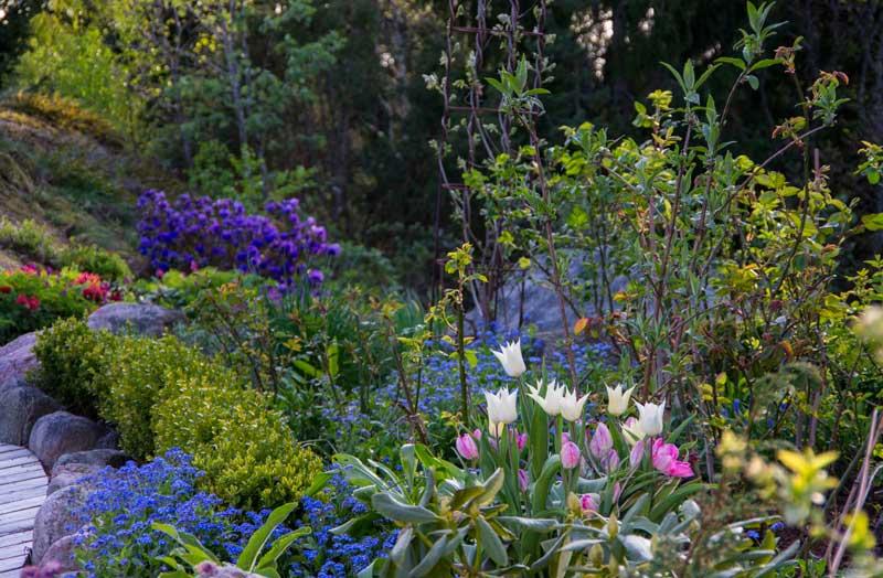 Rhododendron blomstrer tidlig, og er så fargesterk at du skal tenke litt over hvor du plasserer de.