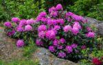 Rhododendron beskjaering6_