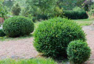 De store nokså gamle Bukxbomene blir ogs¨å stusset slik at formen blir starmmere.