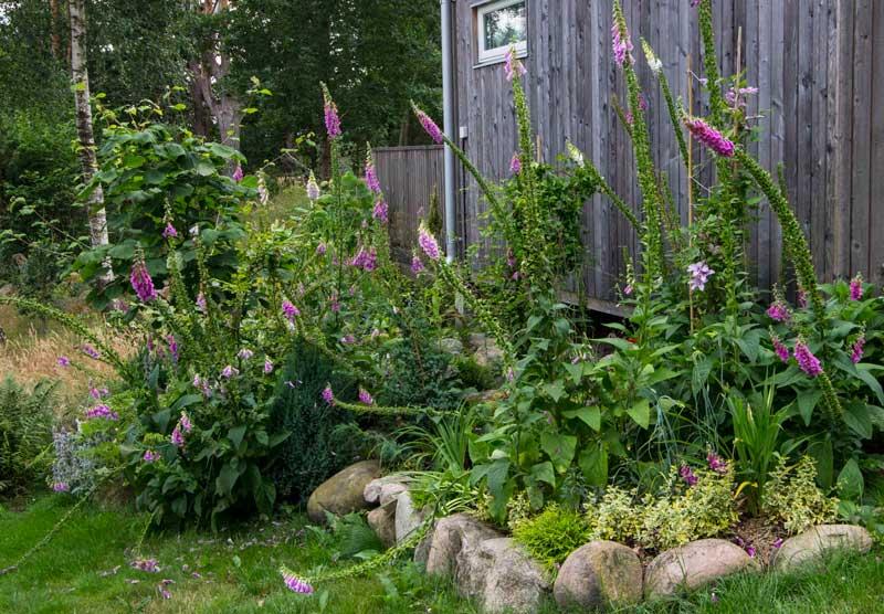Når det er bare noen blomster igjen på toppene, og planten er såpass stranglete at den velter over kan det være en god ide å fjerne de fleste avblomstrede revebjellene.