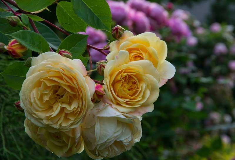 Rosen blomstret. Og visnet_