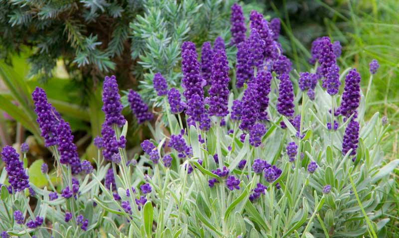 Lavendelblomster_
