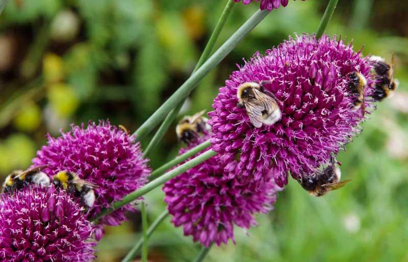 Det er helt sprøtt hvor mye humler det er på denne sentblomstrende alliumen.  (Allium sphaerocephalo).