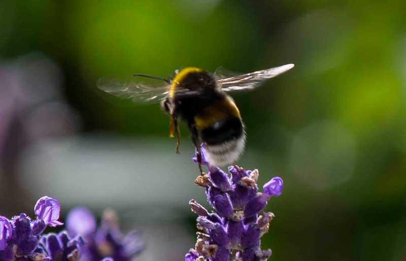Lavendel_