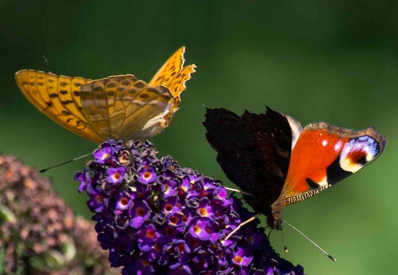 Det er ikke for ingenting at sommerfuglbusken heter sommerfugl busk (Buddleja davidii). Det er et tyvetalls sommerfugler på hver av buskene til enhver tid bortsett fra i sterk vind.