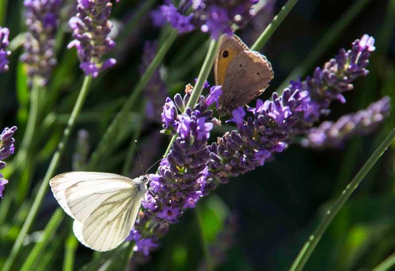 Lavendelen er populær hos de mindre sommerfuglene og hos forskjellige typer møll, også.