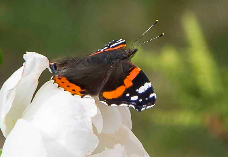 De enkle rosene får også besøk av sommerfuglene.