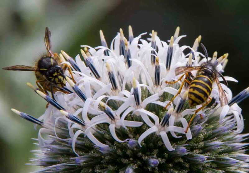 Kuletistelen er alltid veldig godt besøkt av seriøse små bier.