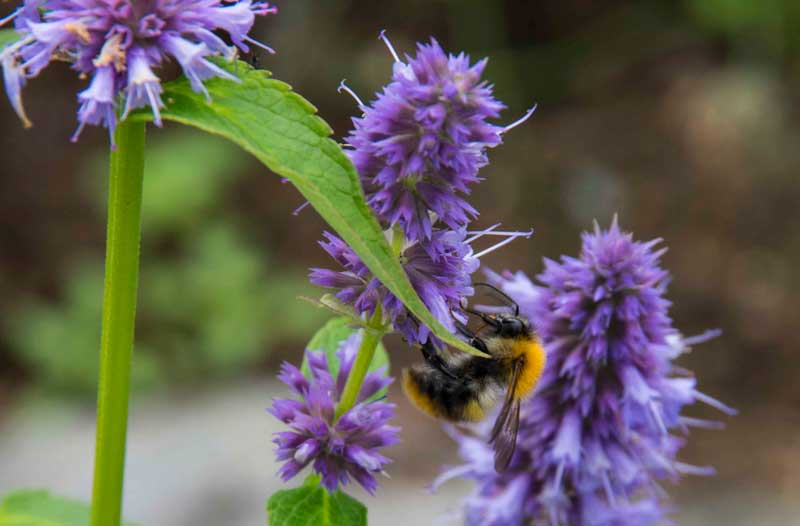 agastache_rugosa and bumblebee_