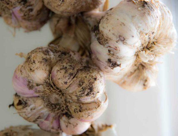Garlic2_