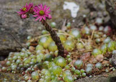 Sneglefrie planter