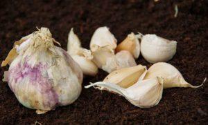 Kvitlauk, Garlic