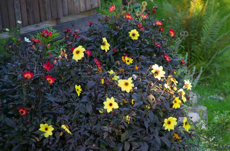Georginene stråler på denne tiden. Pass på å fjern visne blomster og se opp for snegler.