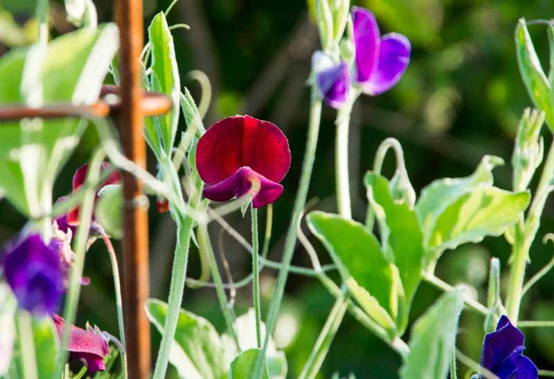 Erteblomstene har vært usle i varme og tørke, Men nå blomstrer de bokstavelig opp.