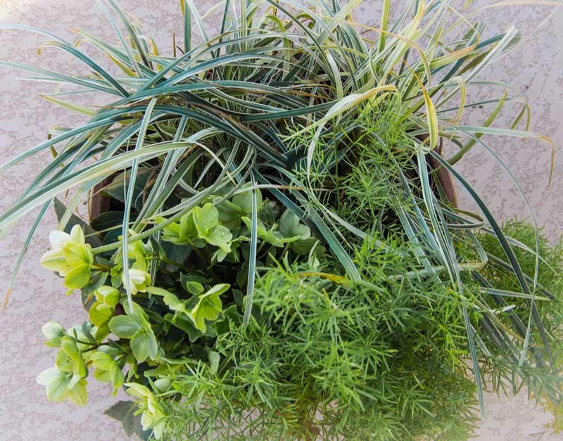 Helleborus container winter2_