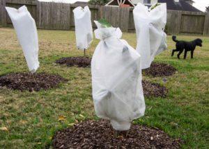 cover tender plants8_