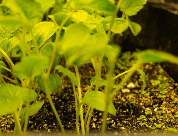 seedlings_