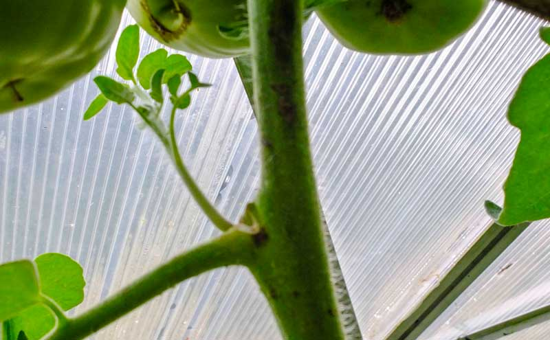Plant tomatoes_