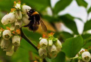 Bumblebees TX_