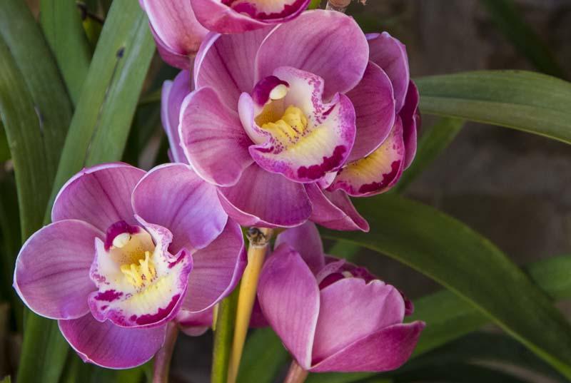 Cymbidium orchid_