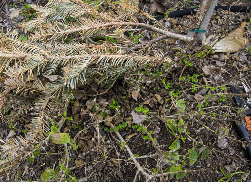 Lantana pruning